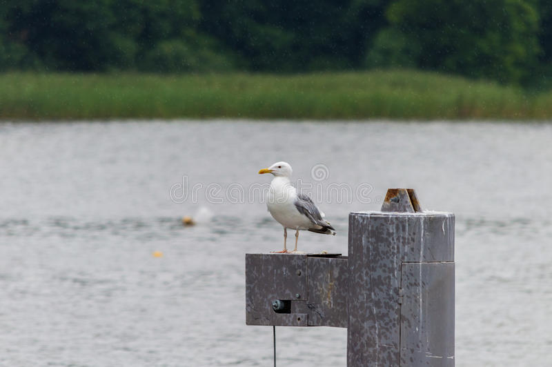 Seagull standing on a metal post.  stock images