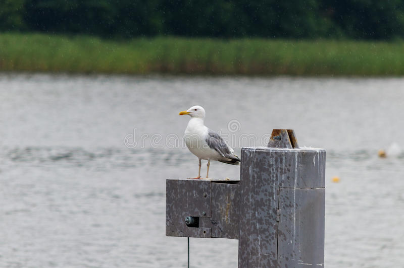 Seagull standing on a metal post.  royalty free stock images