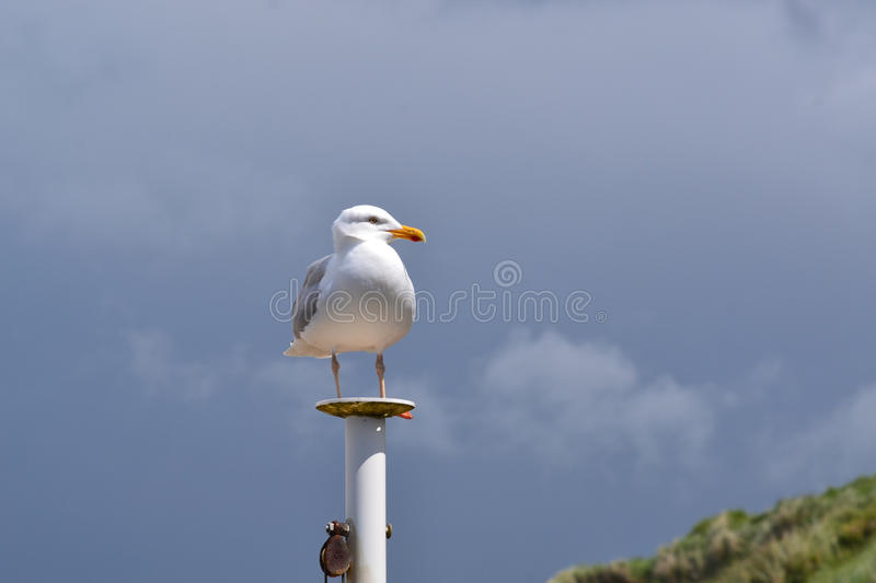 Seagull standing on a pillar stock images