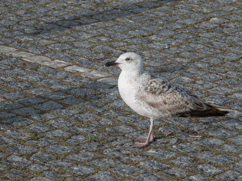Seagull standing on Portuguese pavement stock photography
