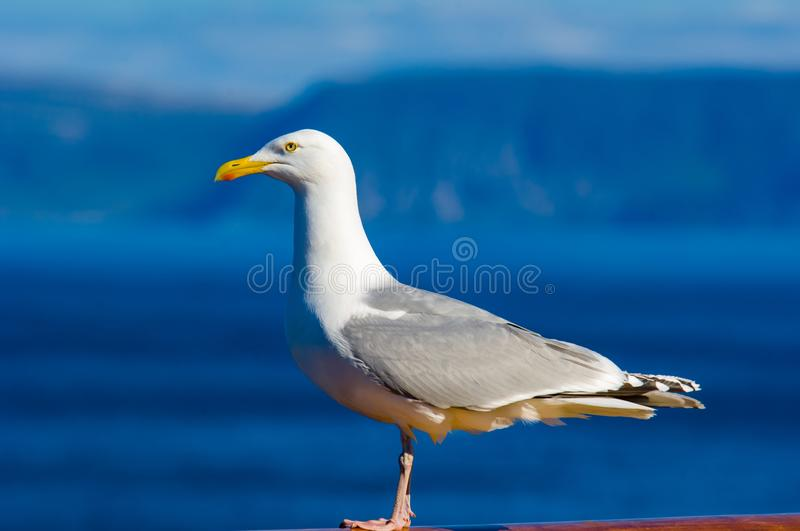 Seagull standing on railing, beautiful blue sea background royalty free stock image