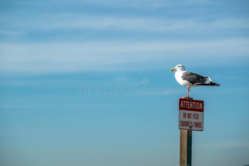 Seagull standing on top of a Attention Do not feed squirrels birds sign, California USA stock image