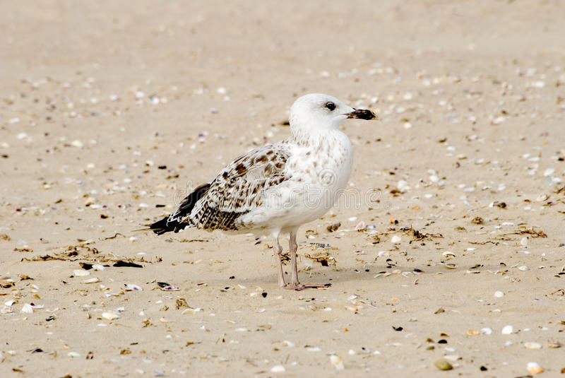Download The seagull stock photo. Image of blue, bird, sand, seagull - 30432050