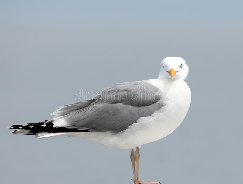 Download Seagull staring stock photo. Image of gull, clear, blue - 28575568