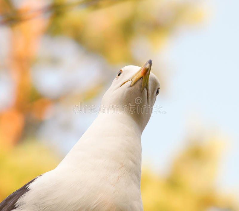 Download Seagull staring stock image. Image of nature, head, sitting - 32383603