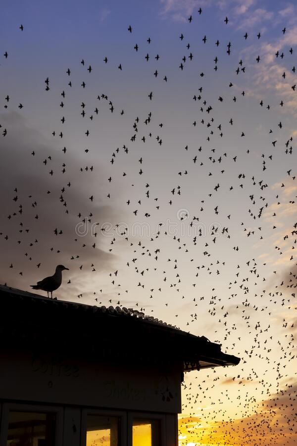Seagull with starling murmurations behind. At dusk stock photography