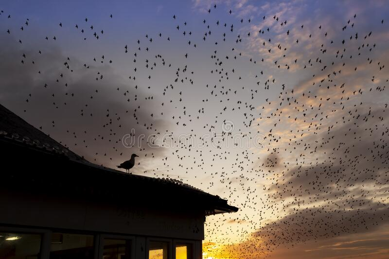 Seagull with starling murmurations behind. At dusk stock image