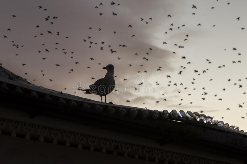 Seagull with starling murmurations behind. In winter stock photos
