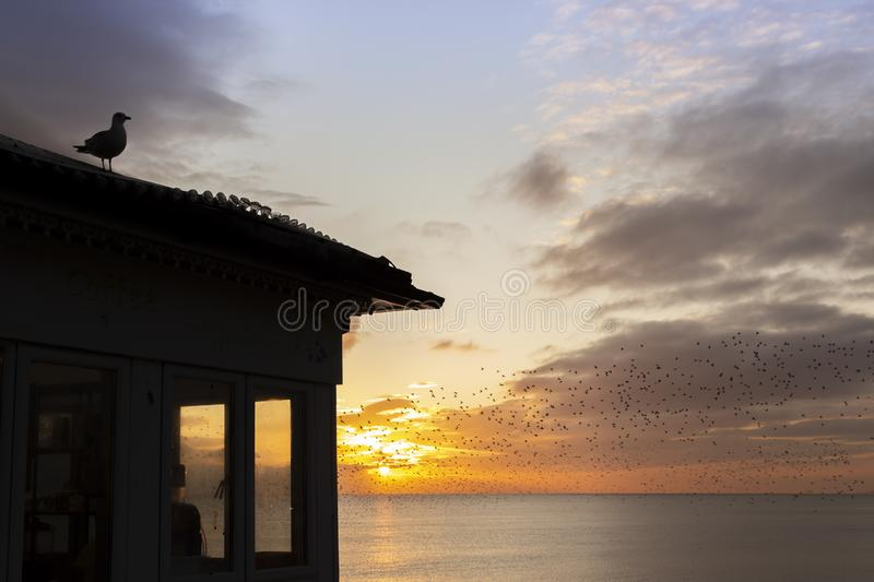 Seagull with starling murmurations behind. And yellow sunset royalty free stock images