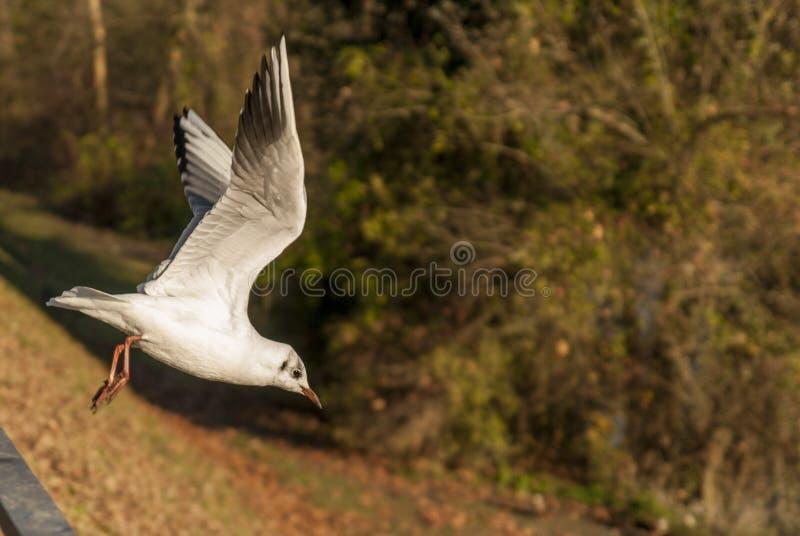 Seagull start obraz stock