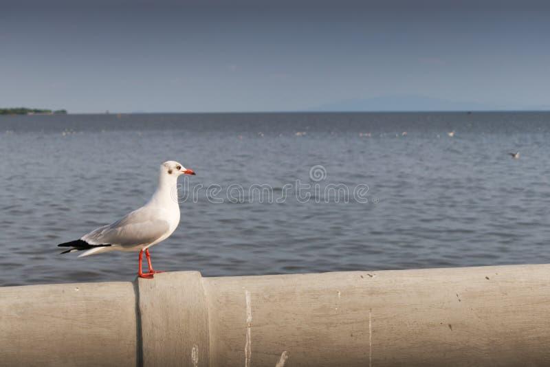 Seagull stoi samotnie przyglądającego za morzu zdjęcie stock