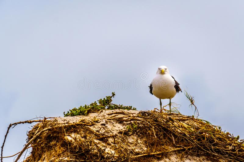 Seagull at Strandfontein beach on Baden Powell Drive between Macassar and Muizenberg near Cape Town stock image
