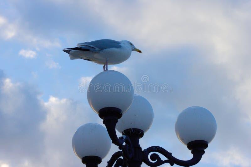 Seagull on street light of Brighton Pier. Seagull standing on a lamp of a street light on Brighton Pier stock image