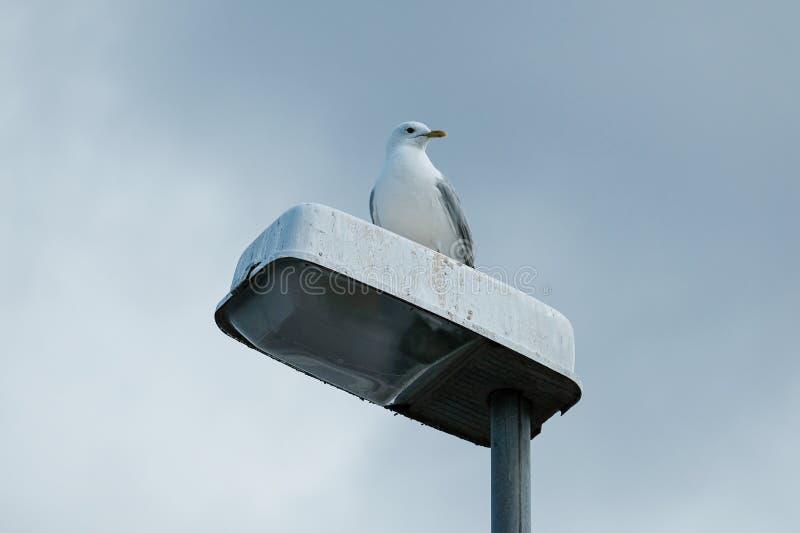 Seagull on Streetlamp stock photography