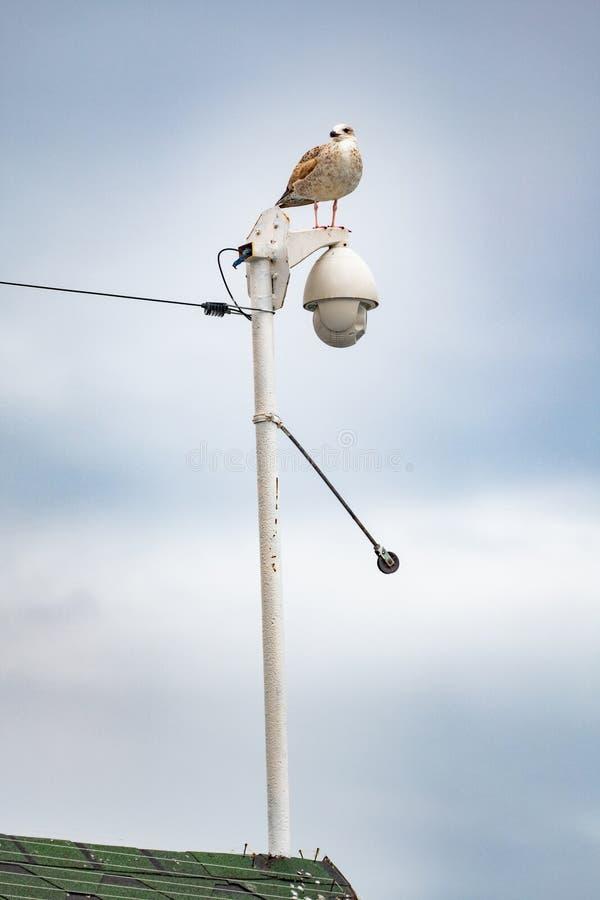 Seagull on streetlamp royalty free stock photos