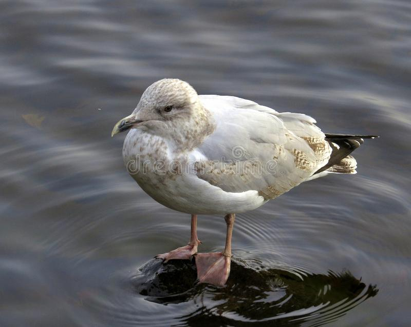 Seagull, on submerged rock, in river. A seagull standing on a flat submerged rock in a calm river royalty free stock image