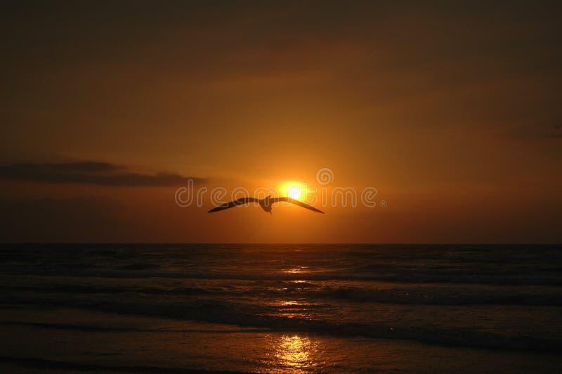 Seagull Sunrise stock photo