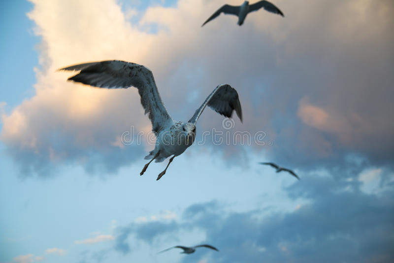 Seagull on sunrise stock photos