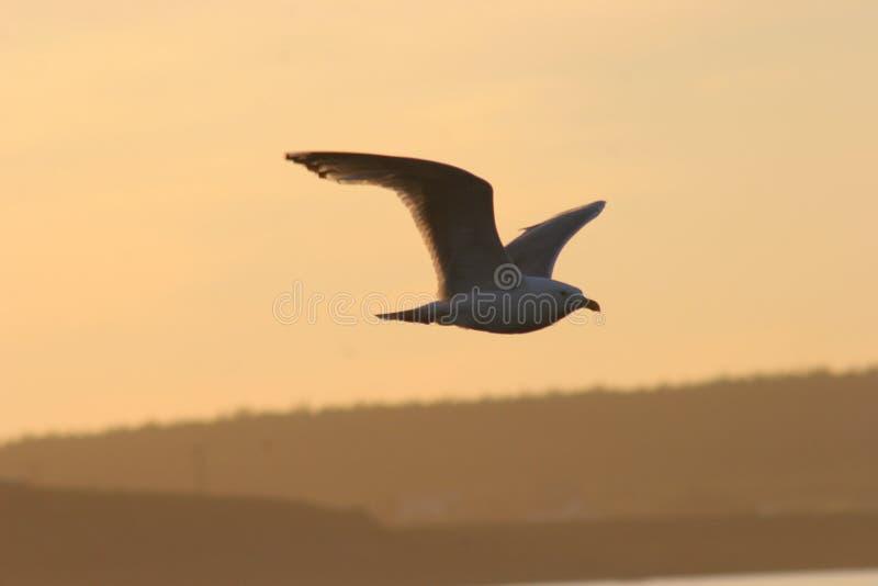 Seagull in Sunset. Seagull, bird, fly, landscape, wing, wings, sunset, orange, gull, ocean, water, sky, beak, feathers, evening, eyes, sunrise, morning, nature royalty free stock photo