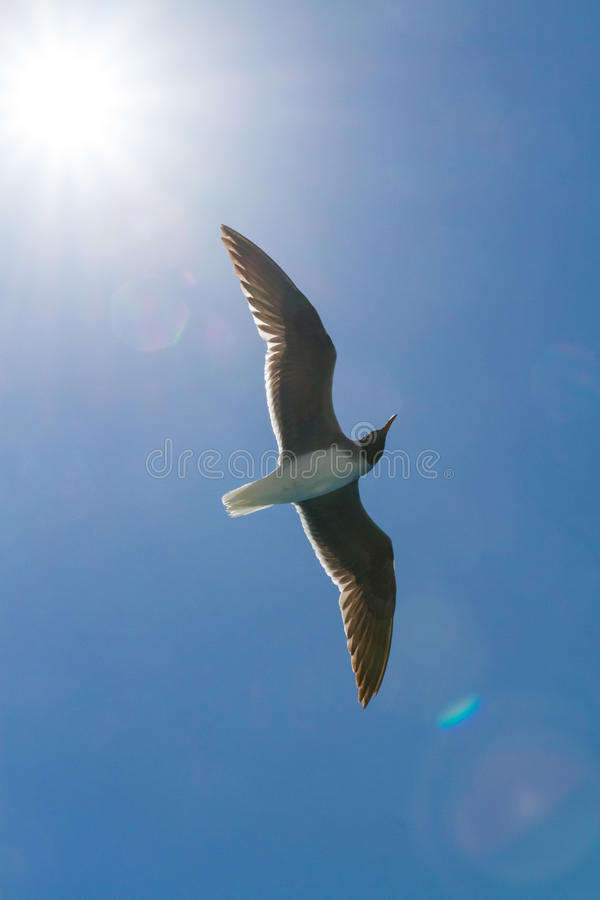 Seagull with sunset in the background. Flying Seagull, under the sun, wide wings royalty free stock photography