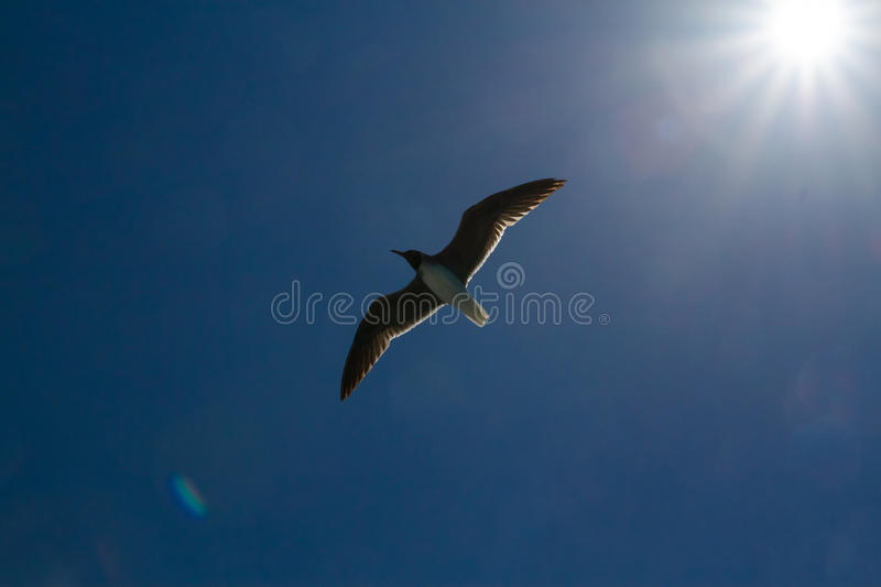 Seagull with sunset in the background. Flying Seagull, under the sun, wide wings royalty free stock images