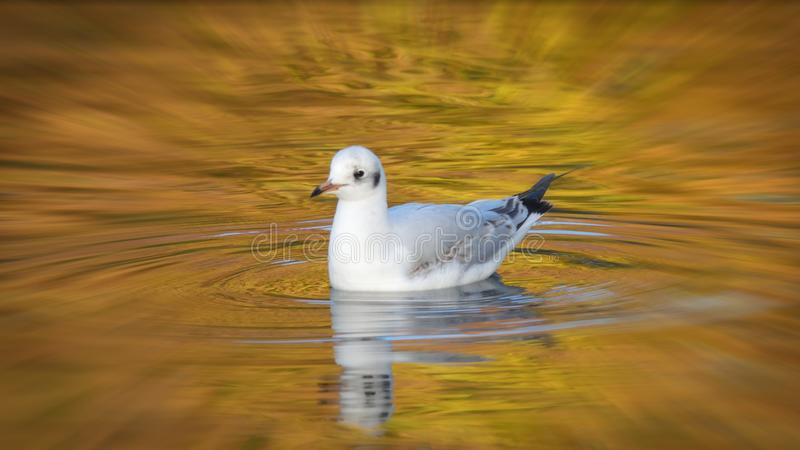 Seagull swimming in autumn colours. Black-headed gull Chroicocephalus ridibundus in golden autumn leaves reflection. The hood of the small gulli s lost in winter