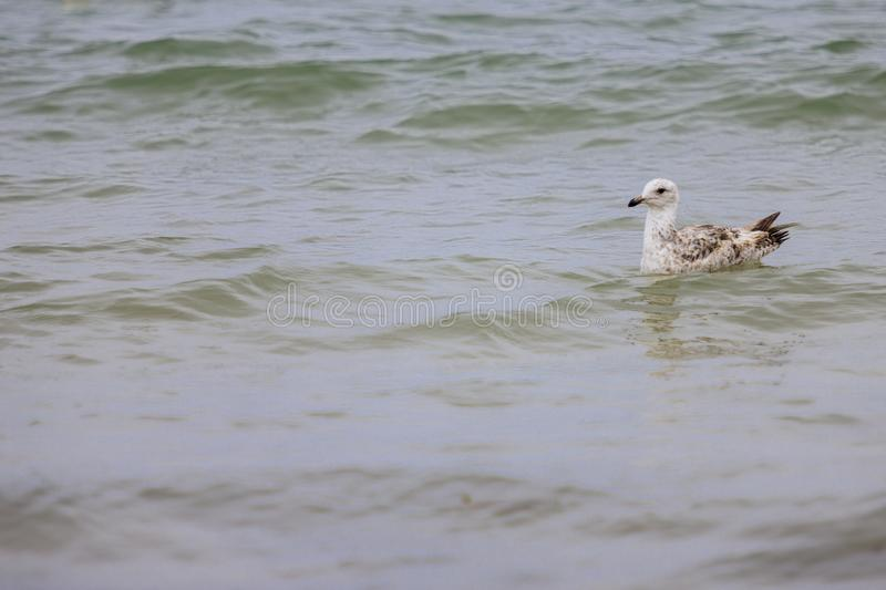 Seagull swimming in the sea royalty free stock image