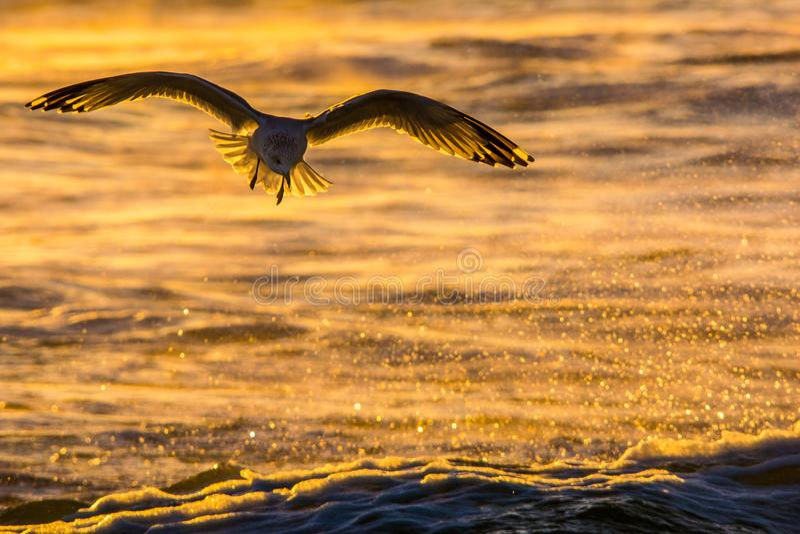 Seagull sylwetka obraz royalty free