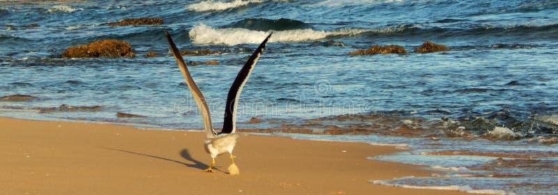 Seagull taking flight stock image