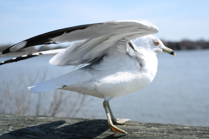 Seagull Taking Flight stock photos