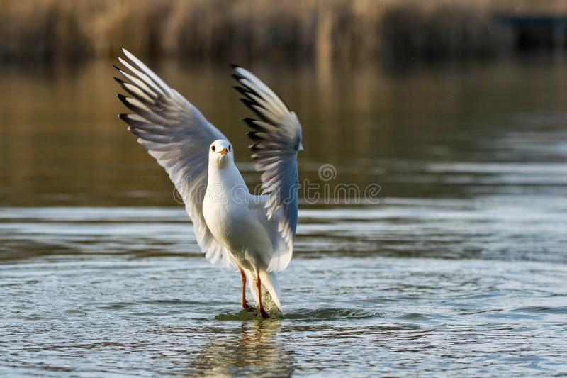 Seagull taking flight from a lake at sunset royalty free stock image