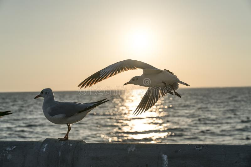 A seagull taking flight and turning towards the sunset stock photo