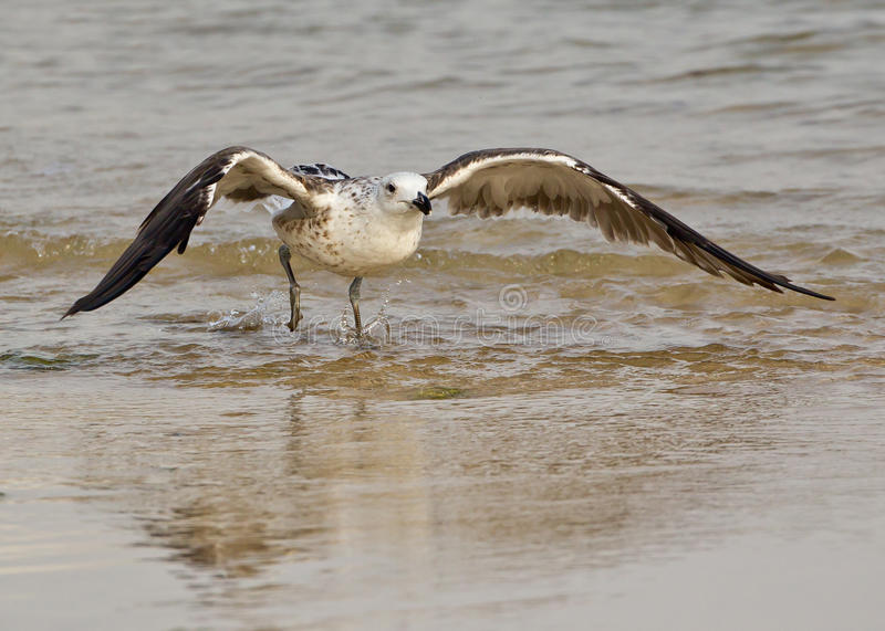 Download Seagull taking off stock photo. Image of seabird, africa - 18679158