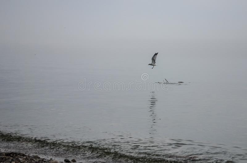 Seagull taking off in flight from a Floating Branch royalty free stock photography