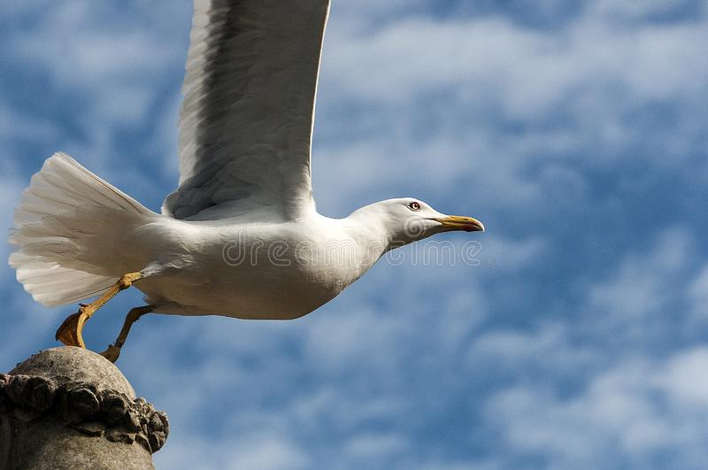 Seagull taking off. A seagull taking off from a stone statue head, from left to right. Picture taken from underneath with a blue and cloudy sky like background royalty free stock images