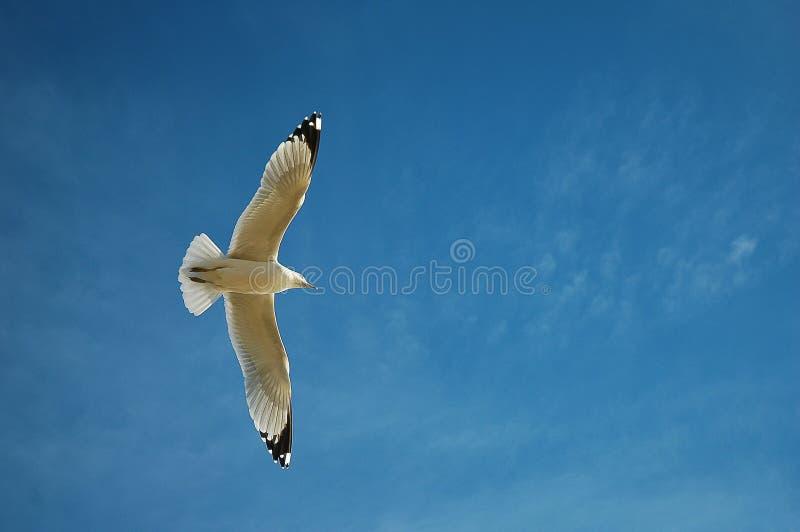 seagull target989_0_ obraz royalty free