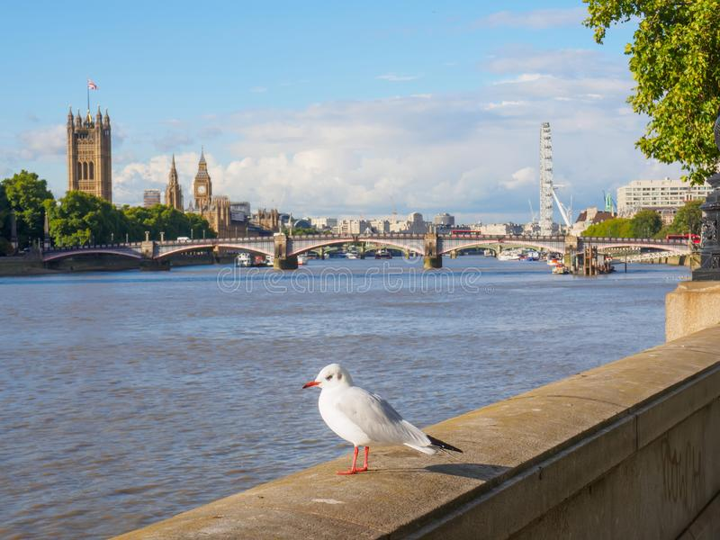 A seagull at the Thames River embankment with the Big Ben, Houses of Parliament and London Eye on the background. View of a seagull at the Thames River royalty free stock images