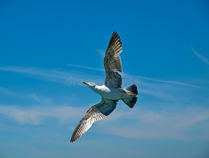 Seagull underpart με ευρύ ανοικτό φτερών στοκ εικόνες με δικαίωμα ελεύθερης χρήσης