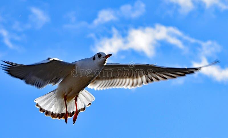 Seagull unosi się jak sprawy duchowe gołąbka fotografia stock