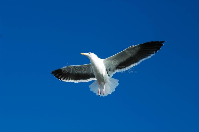 Seagull unosi się koszt stały przeciw niebieskiemu niebu fotografia stock