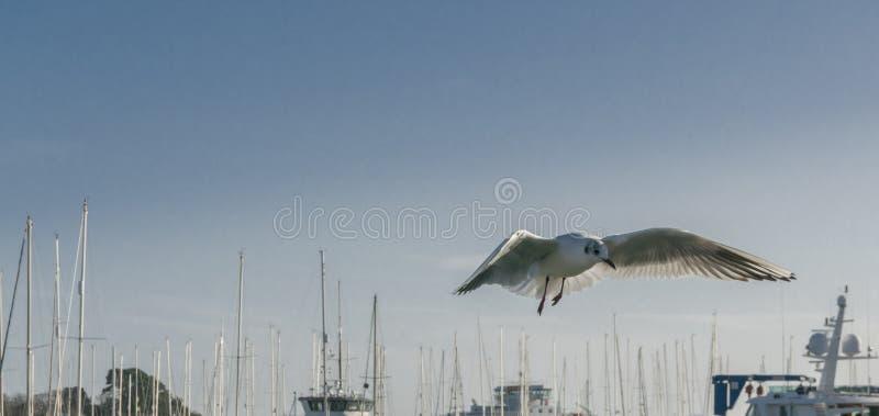 Seagull unosi się w locie zdjęcia stock