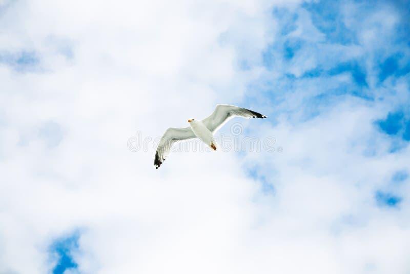 seagull unosi się w niebieskim niebie z białymi chmurami zdjęcia royalty free