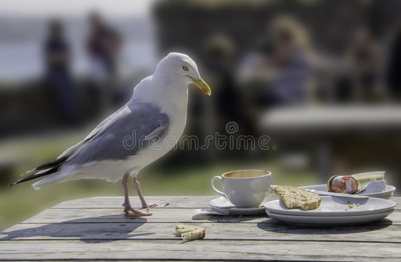 Seagull - the unseen reality. A seagull on a Cornish beach, sneaking finished food off a picnic table