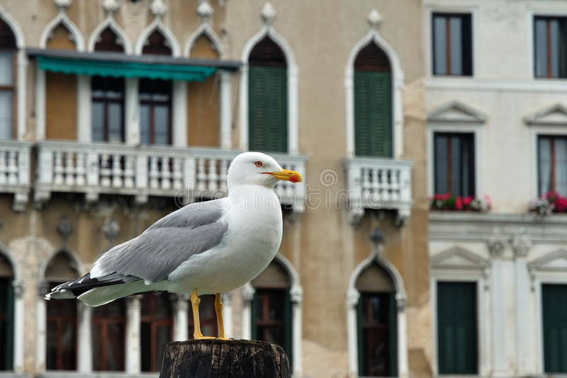 Seagull In Venice Royalty Free Stock Photography