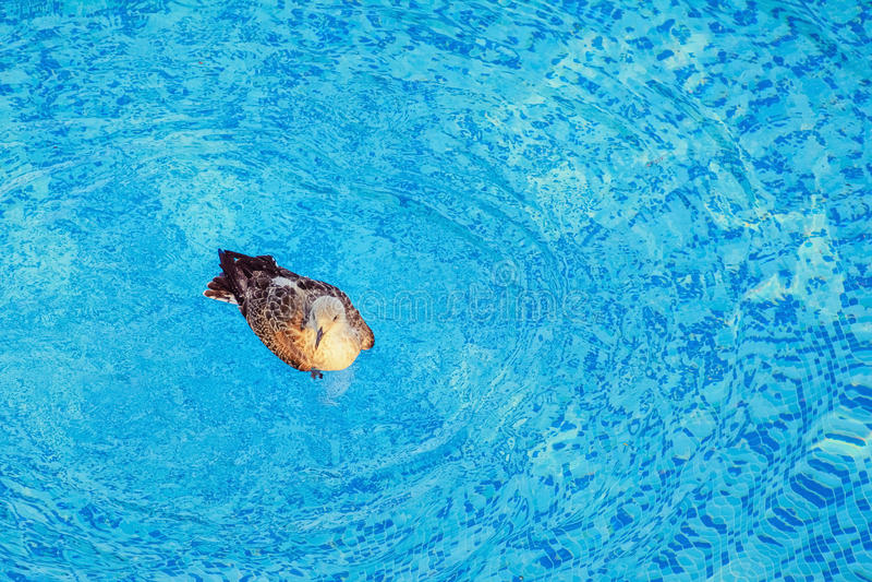 Seagull w basenie fotografia royalty free