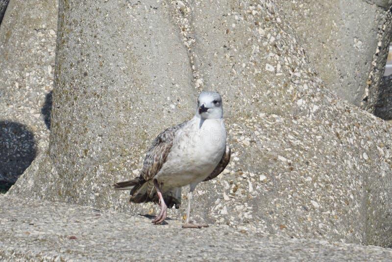 Seagull, w górę ptaka, biały ptak, raniący zdjęcia stock