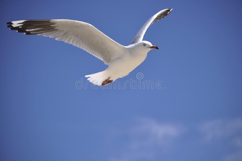 seagull w górę skrzydeł zdjęcie royalty free