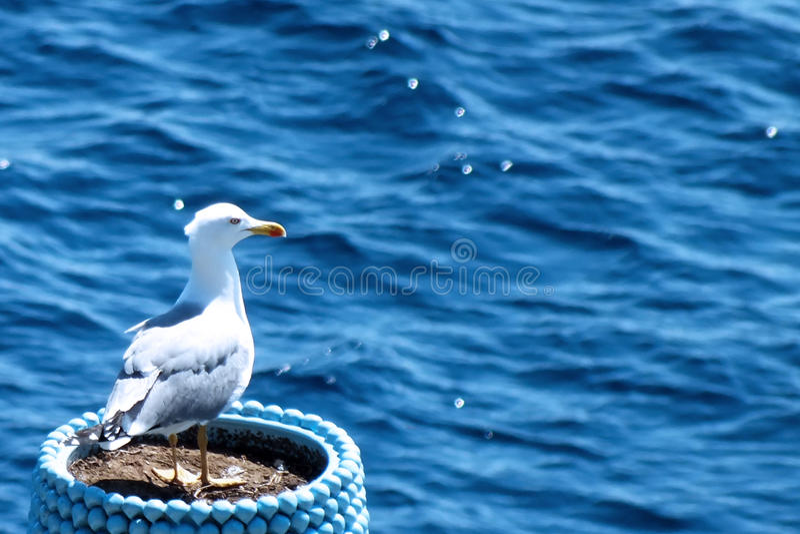 Seagull w garnku obraz stock