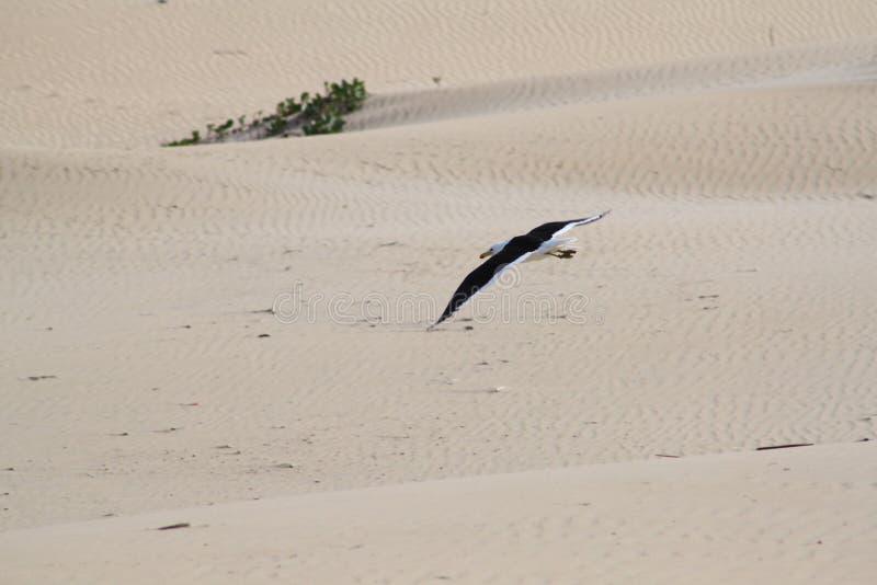 Seagull w locie obraz royalty free
