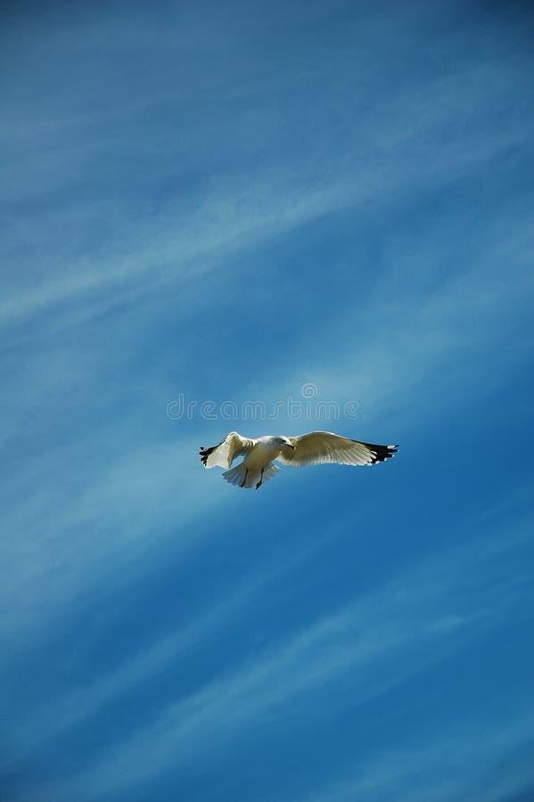 Seagull w locie obrazy stock